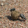 dung beetles - Canthon imitator