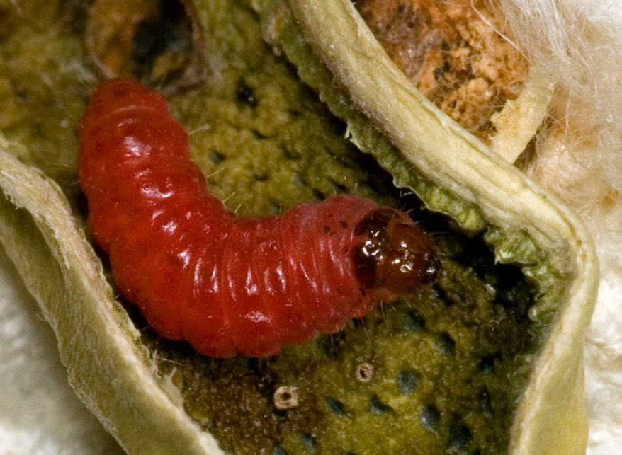 pink bollworm - Pectinophora gossypiella