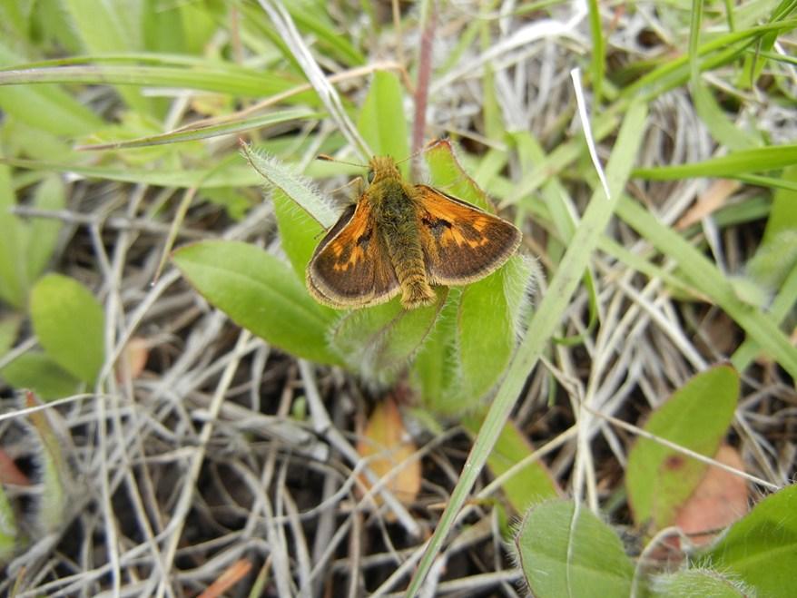 Mardon skipper butterfly - Polites mardon
