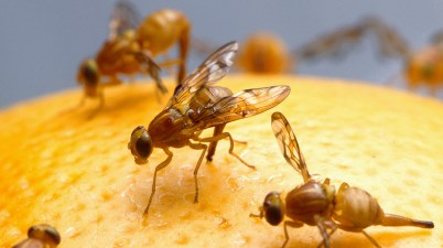 Mexican fruit fly - Anastrepha ludens