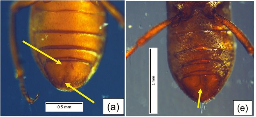 Stygoparnus comalensis under lateral lighting