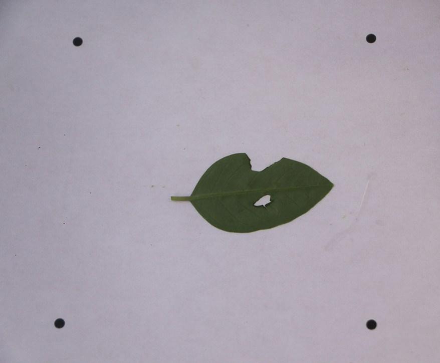 example leaf