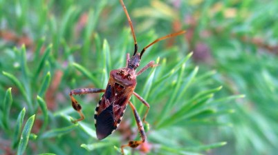 western conifer-seed bug - Leptoglossus occidentalis