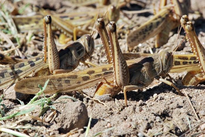Schistocerca cancellata locust - gregarious phase