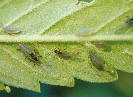 cannabis aphid on hemp