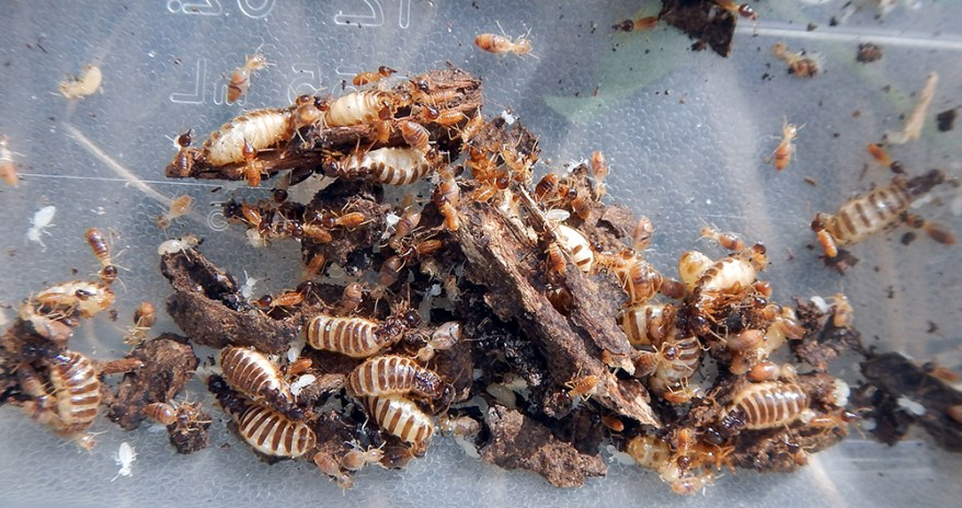 multiple conehead termite queens