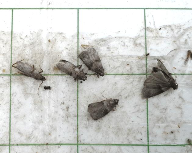pecan nut casebearer moths on pheromone trap