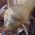 Cannibalized termite