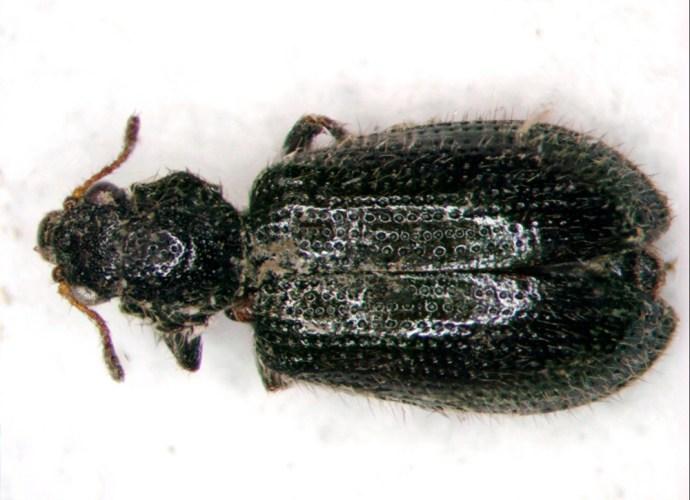 Laricobius nigrinus beetle