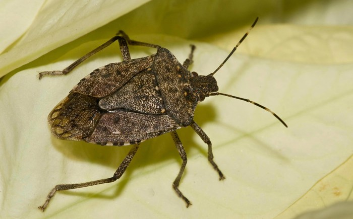 brown marmorated stink bug - Halyomorpha halys - Ellis