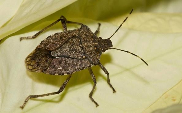 brown marmorated stink bug - Halyomorpha halys - Ellis