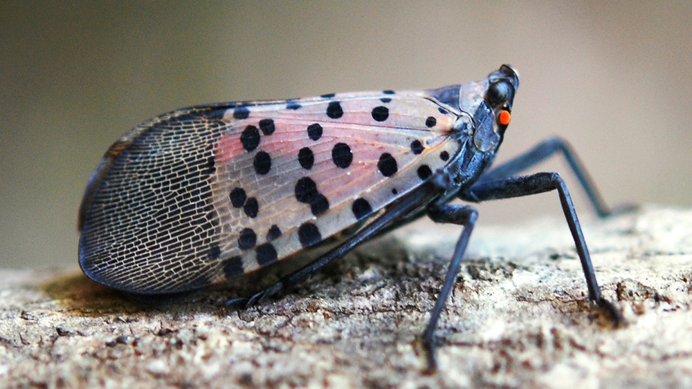 Study Sheds Light on Spotted Lanternfly's Life History in North America