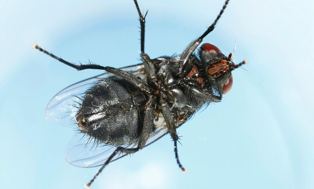 Calliphora vomitoria fly