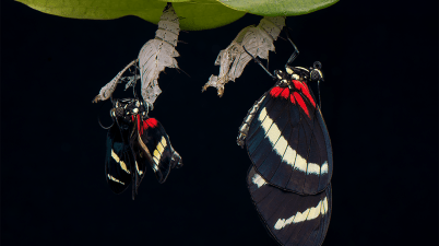 Heliconius sp. butterflies