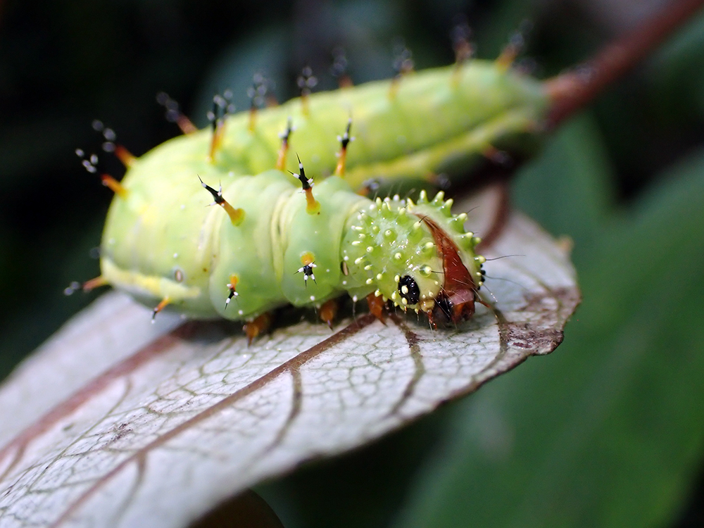 Hungry, Hungry Hawaiian Caterpillar: Program Aims to Restore the Endemic Kamehameha Butterfly