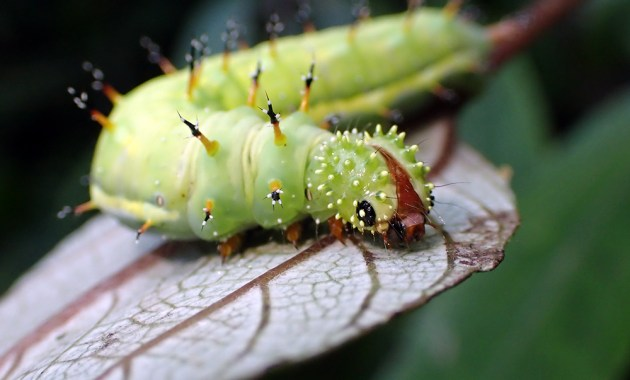 Kamehameha caterpillar - Vanessa tameamea