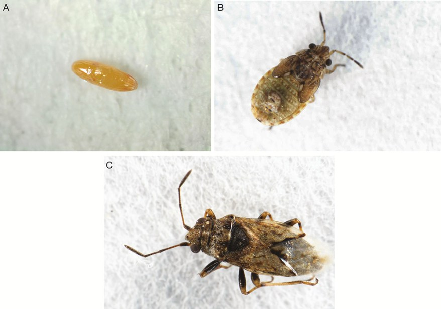 Nysius huttoni stages