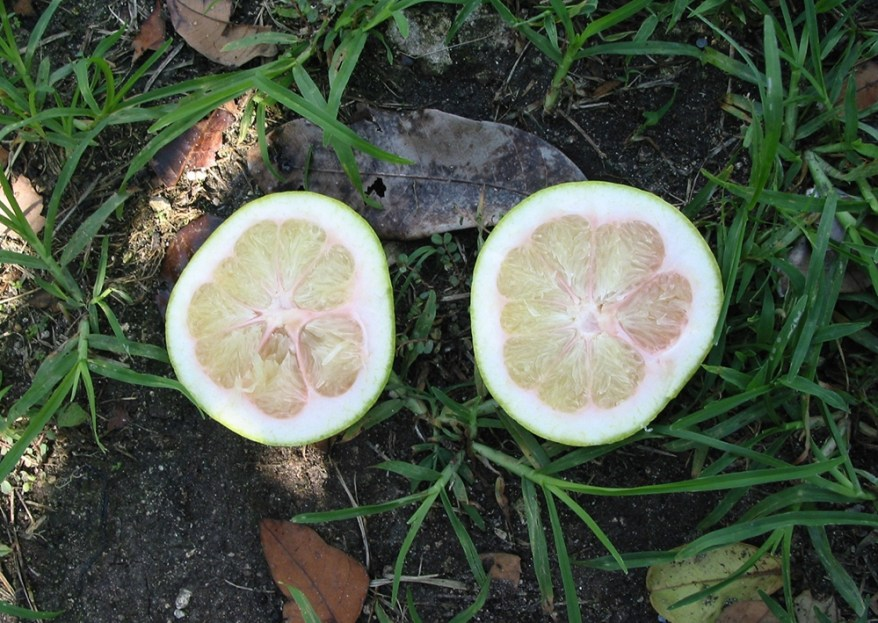 citrus greening - fruit
