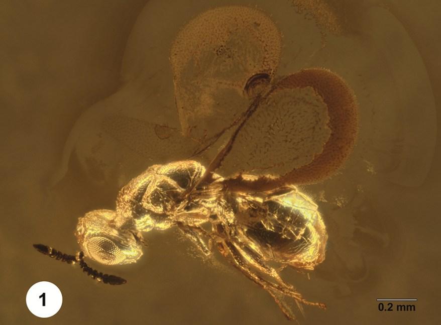 Brachyelatus marthae wasp in amber