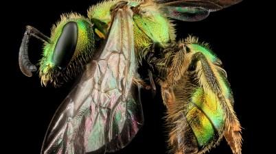 Augochlorella aurata bee