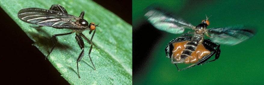 Rhamphomyia longicauda (long-tailed dance fly)