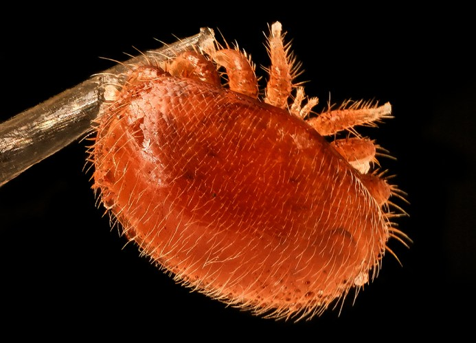 Varroa destructor mite