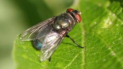 black blow fly (Phormia regina)