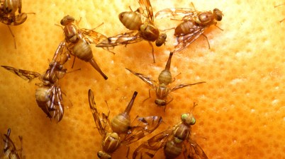 Mexican fruit fly (Anastrepha ludens)