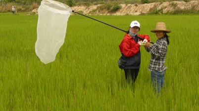 rice pest monitoring in Laos