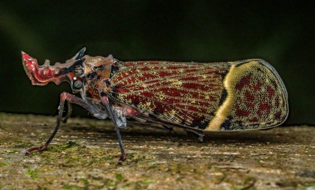 Phrictus quinqueparitus planthopper