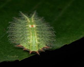 Isa textula slug caterpillar