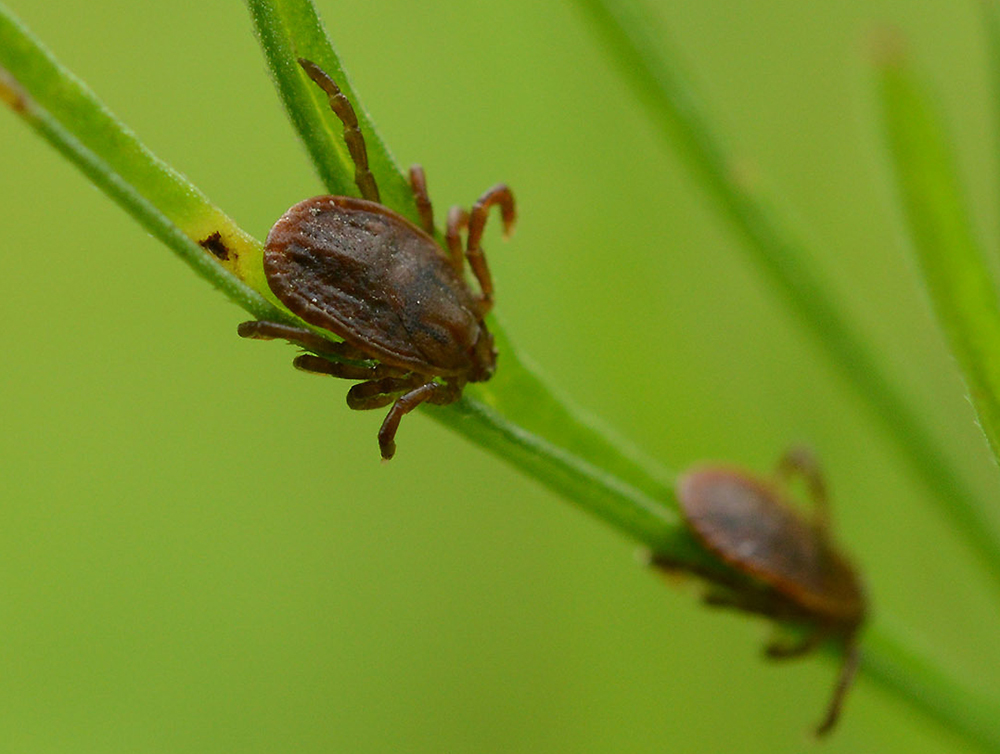 Lab Study Shows Asian Longhorned Tick Can Spread Rocky Mountain Spotted Fever