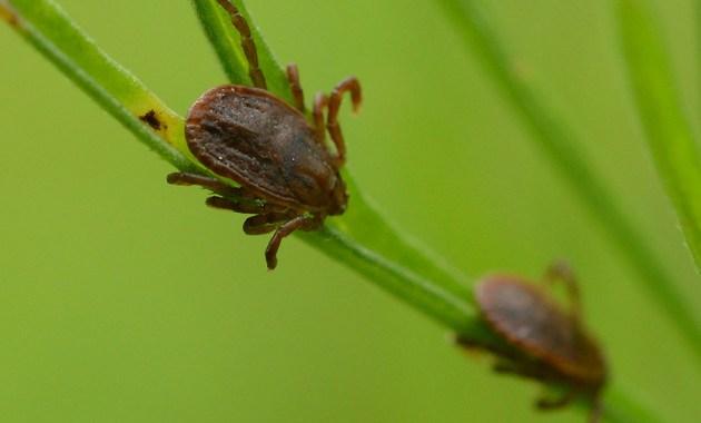 Asian longhorned tick (Haemaphysalis longicornis)
