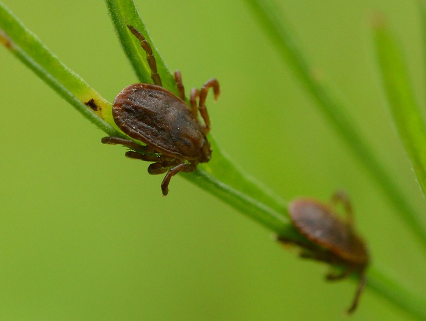 Asian longhorned tick (Haemaphysalis longicornis)