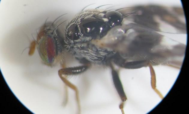 eupatorium gall fly (Procecidochares utilis)