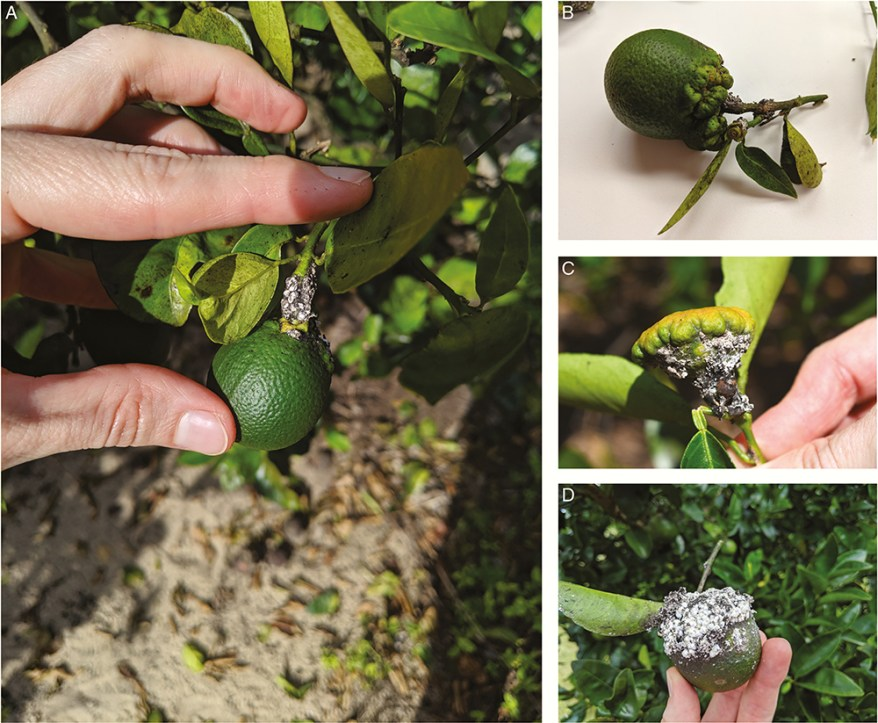 Nipaecoccus viridis damage on citrus