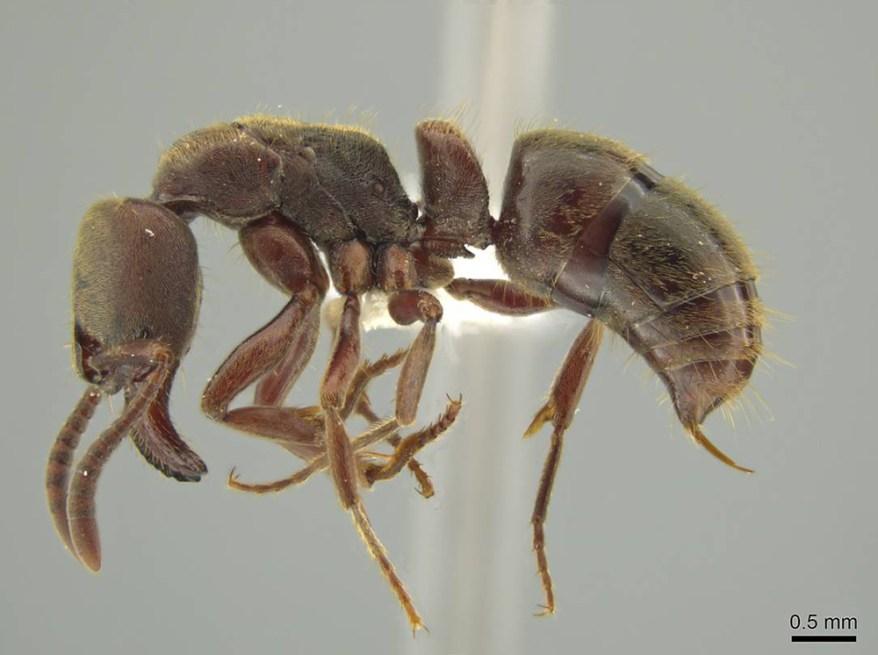 Rasopone ferruginea