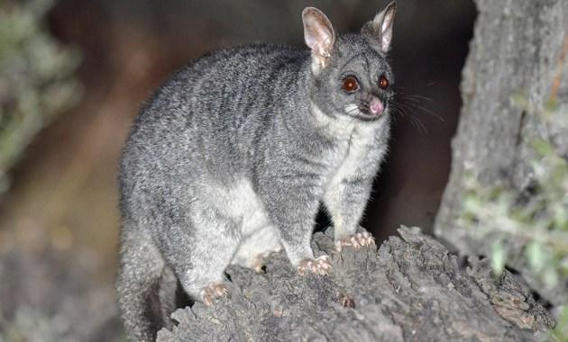 brushtail possum (Trichosurus vulpecula)