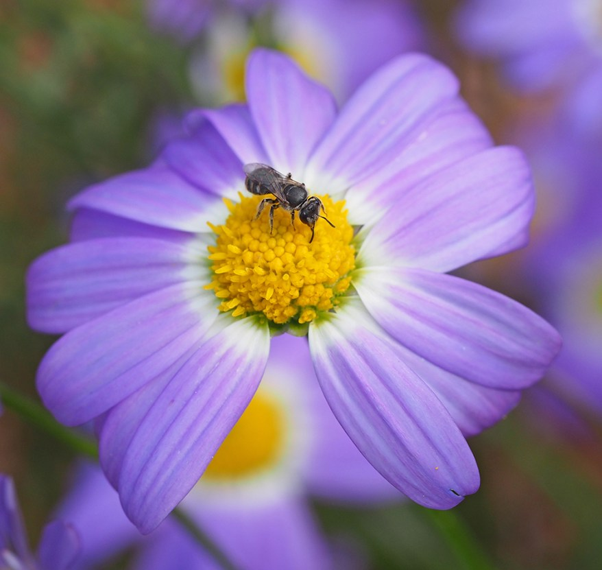Lasioglossum sp. bee