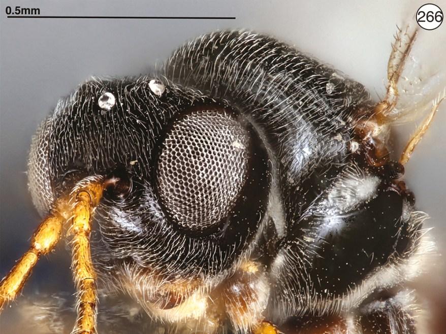 Mikeius hartigi wasp