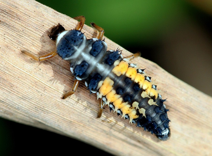 Harmonia axyridis larva