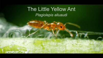 little yellow ant video screenshot