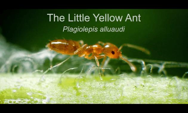 little yellow ant video screenshot