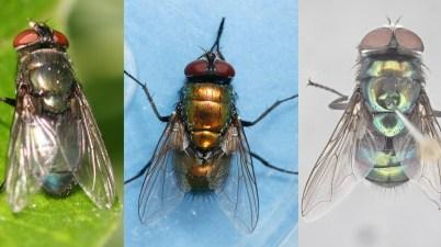 Three Blow Fly Species