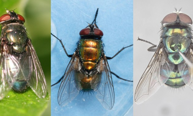 Three Blow Fly Species