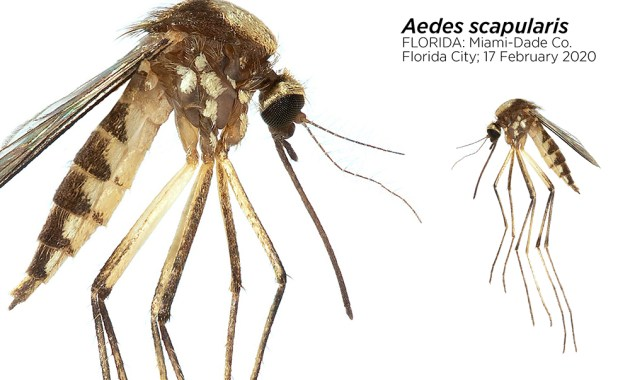 Aedes scapularis mosquito