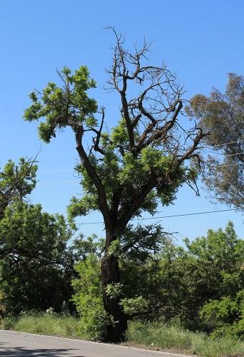 walnut tree dieback