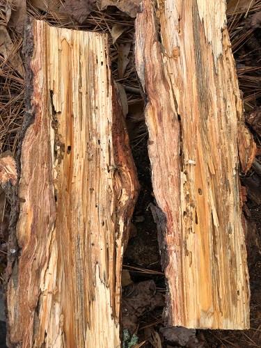 beetle larva in firewood