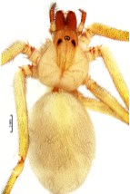 Loxosceles coheni female