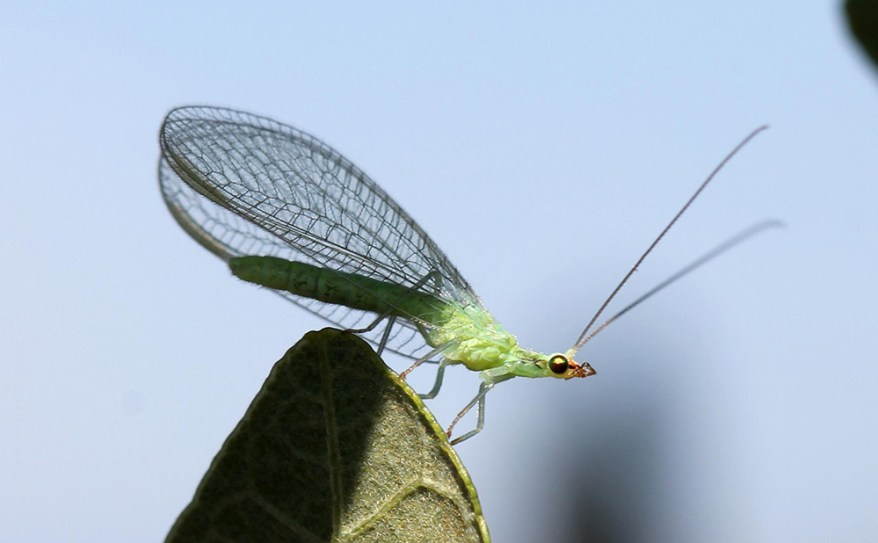 Chrysoperla sp. lacewing